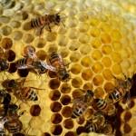 Albine pe fagure