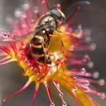 Insectă prinsă in capcana Droserei rotundifolia