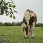 Cal păscând